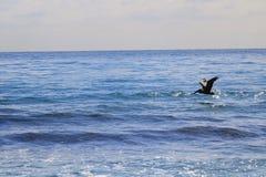 鹈鹕 图库摄影