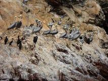 鹈鹕Ballestas海岛,秘鲁 库存照片