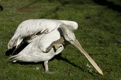 鹈鹕pelecanus philippensis 免版税库存图片