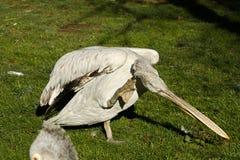 鹈鹕pelecanus philippensis 库存图片