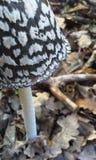 鹊真菌 库存图片