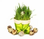 鹌鹑蛋和新鲜的绿草在白色 图库摄影