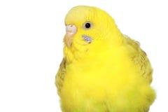 鹦哥黄色 免版税库存照片