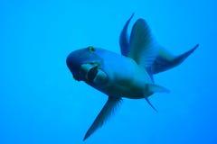 鹦嘴鱼 库存照片