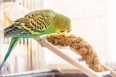 鹦鹉从干燥耳朵草吃 逗人喜爱的绿色budgie在birdca坐 免版税库存图片