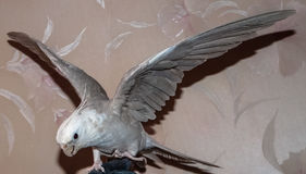 鹦鹉准备好的科雷利飞行 免版税图库摄影