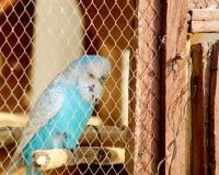 鹦鹉在新年 免版税库存图片