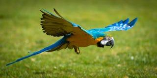 鹦鹉在飞行中在草 免版税图库摄影