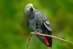 鹦鹉在绿色森林栖所 非洲人般的灰色鹦鹉, Psittacus画眉,坐分支,刚果族,非洲 野生生物场面为 库存照片