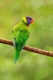 鹦鹉坐分支 彩虹Lorikeets Trichoglossus haematodus,五颜六色的鹦鹉坐分支,在na的动物 免版税图库摄影
