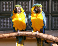 鹦鹉夫妇 免版税库存照片