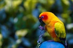 鹦鹉是共同地被扶养大多数的一只美丽的鸟美丽的鸟 免版税库存照片