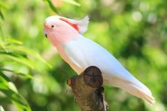 鹦鹉桃红色俏丽 库存图片