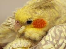 鹦鹉清洗羽毛。 免版税库存照片