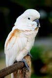 鹦鹉白色 图库摄影