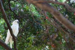 鹦鹉白色 免版税库存图片