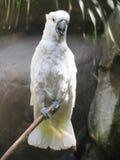 鹦鹉白色 免版税图库摄影