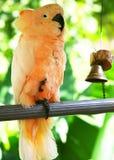 鹦鹉空白黄色 免版税库存图片
