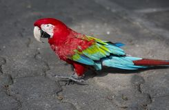 鹦鹉红色金刚鹦鹉 库存照片