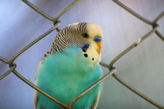 鹦鹉蓝色 免版税库存照片