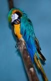 鹦鹉金刚鹦鹉画象  免版税库存图片