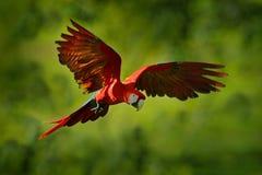 鹦鹉飞行在绿色密林栖所 在飞行的红色鹦鹉 猩红色金刚鹦鹉, Ara澳门,在热带森林里,哥斯达黎加,野生生物s 免版税库存照片