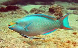 鹦鹉鱼和短篇广告 库存图片