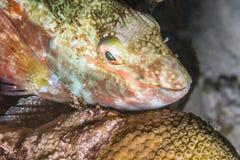 鹦鹉鱼在晚上 库存照片