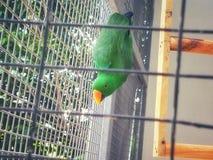 鹦鹉鸟-动物&野生生物 免版税库存照片