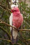 鹦鹉,澳大利亚 免版税库存照片