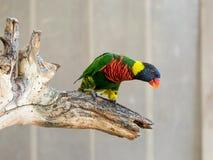 鹦鹉洛里- Loriinae -坐一个分支在鹦鹉的鸟舍在集居区的Nir大卫淦宗师动物园在以色列 免版税图库摄影