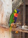 鹦鹉洛里- Loriinae -坐一个分支在鹦鹉的鸟舍在集居区的Nir大卫淦宗师动物园在以色列 免版税库存图片