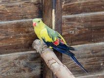 鹦鹉洛里- Loriinae -坐一个分支在鹦鹉的鸟舍在集居区的Nir大卫淦宗师动物园在以色列 库存照片