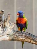 鹦鹉洛里- Loriinae -坐一个分支在鹦鹉的鸟舍在集居区的Nir大卫淦宗师动物园在以色列 图库摄影