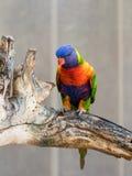 鹦鹉洛里- Loriinae -坐一个分支在鹦鹉的鸟舍在集居区的Nir大卫淦宗师动物园在以色列 库存图片