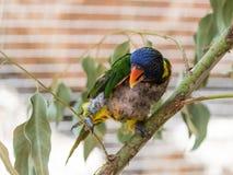 鹦鹉洛里- Loriinae -坐一个分支在鹦鹉的鸟舍在集居区的Nir大卫淦宗师动物园在以色列 免版税库存照片