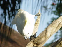 鹦鹉 免版税库存图片
