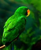 鹦鹉 免版税图库摄影