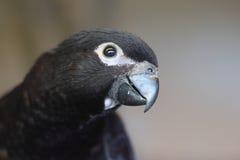 黑鹦鹉 库存照片