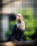 鹦鹉Agapornis fischeri (菲舍尔的爱情鸟) 免版税库存图片