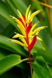 鹦鹉Heliconia在庭院里 库存照片