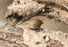 鹪鹩坐树根在的一只小鸟 库存图片