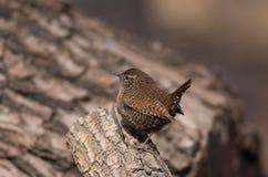 鹪鹩鸟以昆虫为食的鸟狂放的鸟类迁徙生态摄影尾巴经常向了上与白色斑点d的身体 免版税库存图片