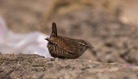 鹪鹩鸟以昆虫为食的鸟狂放的鸟类迁徙生态摄影尾巴经常向了上与白色斑点d的身体 库存图片
