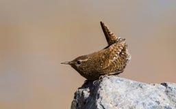 鹪鹩鸟美丽的以昆虫为食的迁移咖啡颜色歌手栖息狂放的河羽毛眼睛 库存图片