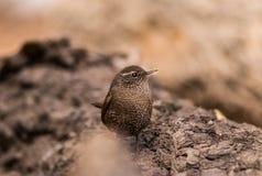 鹪鹩鸟美丽的以昆虫为食的迁移褐色歌手栖息羽毛似狂放的河沿 免版税库存照片
