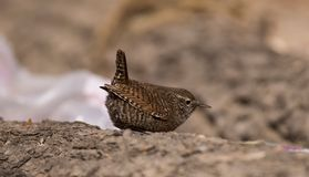 鹪鹩鸟美丽的以昆虫为食的迁移褐色歌手栖息羽毛似狂放的河沿 免版税图库摄影