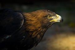 鹫在日落的天鹰座chrysaetos画象  库存照片