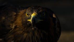 鹫在日落的天鹰座chrysaetos画象  免版税库存图片
