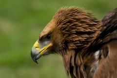 鹫特写镜头与被翻动的羽毛的 免版税图库摄影